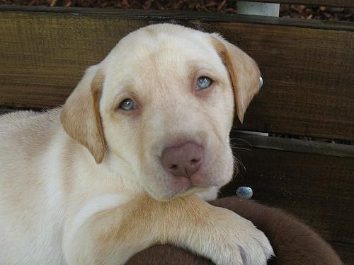 blue eyed blonde puppy