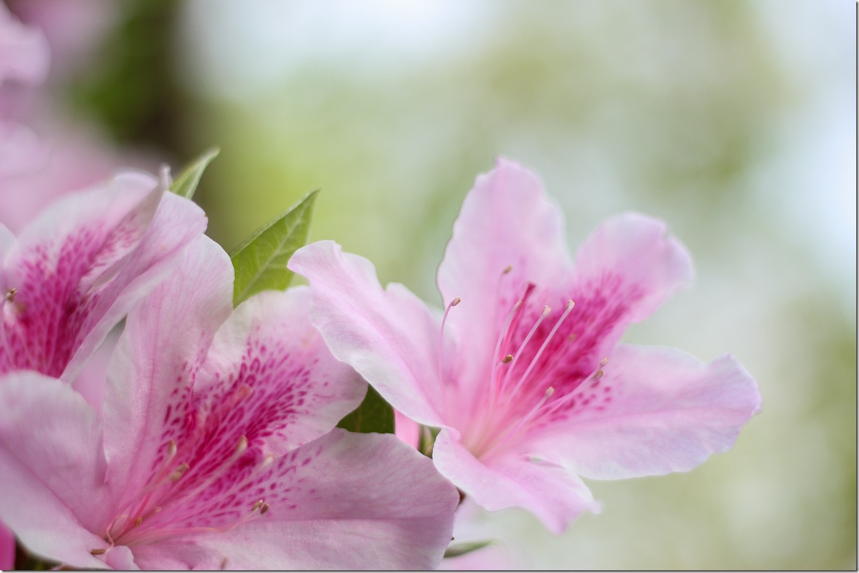 Azaleas in the South (1 of 10)