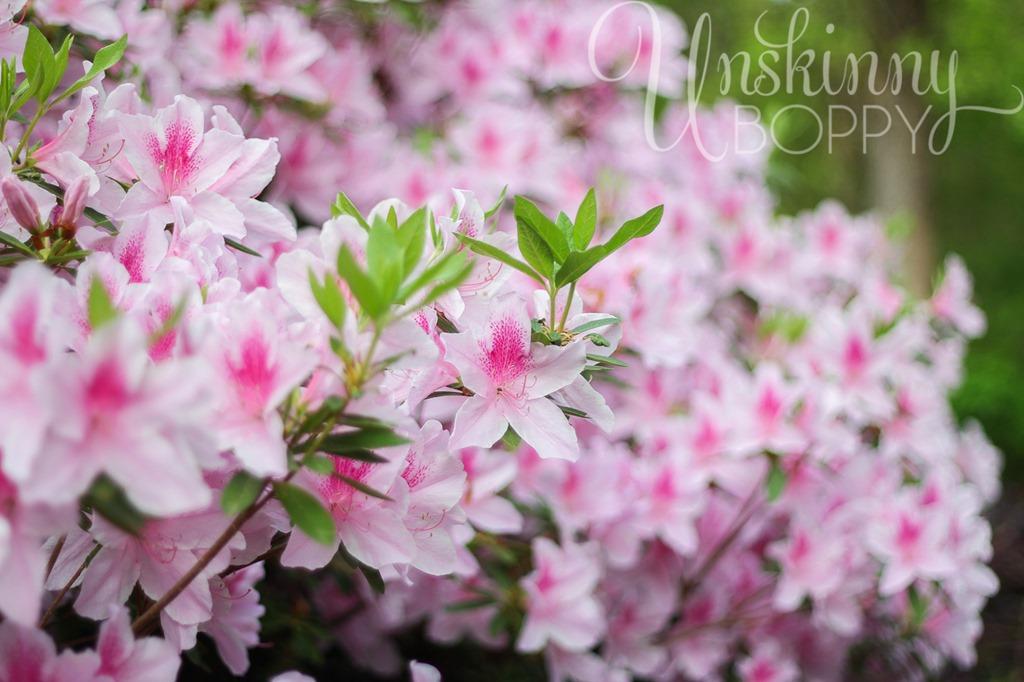 Pink Azaleas in full bloom