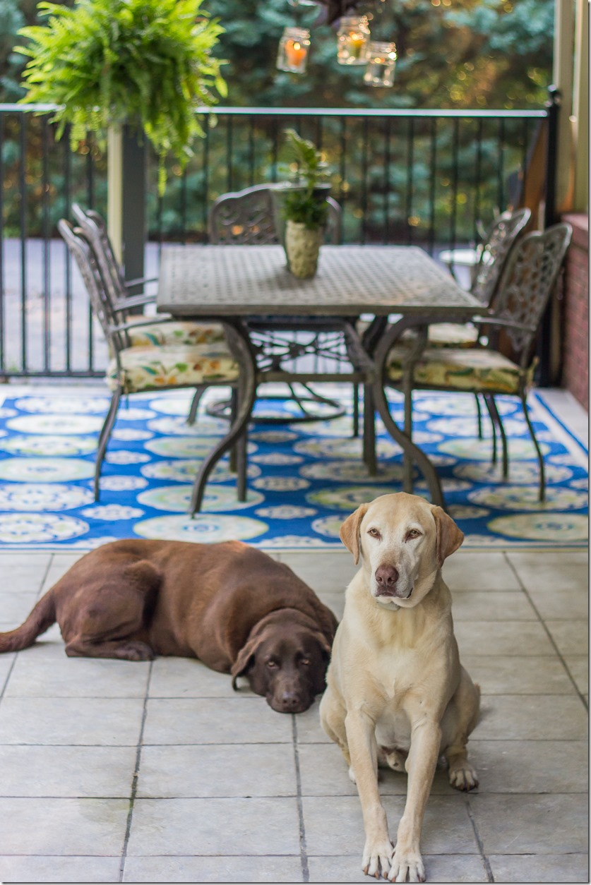 Labrador Retrievers by the pool