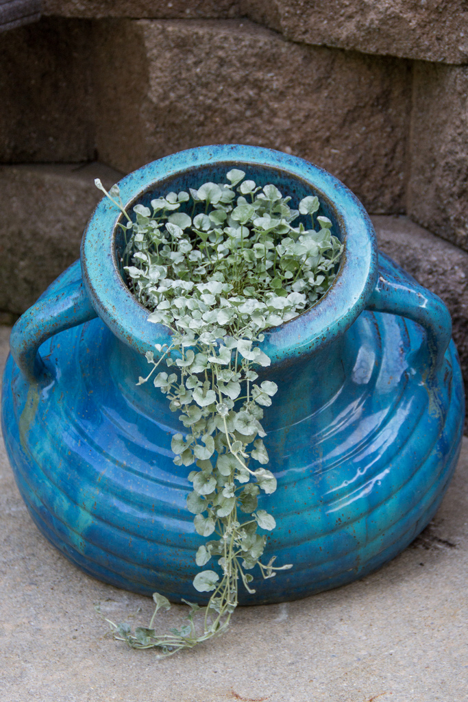 turquoise ceramic planter with a silvery Spiller plant