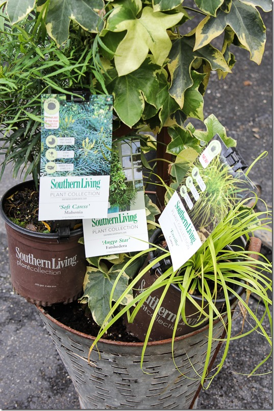 Southern Living Plant Collection Fatshedera, Mahonia and Carex in olive bucket