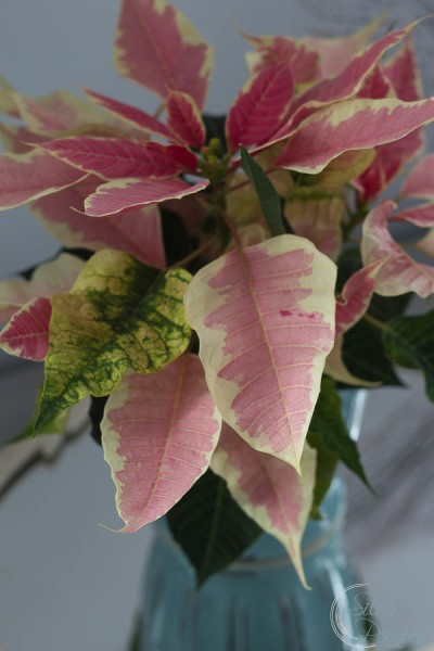 Pale-Pink-Poinsettia-400x600