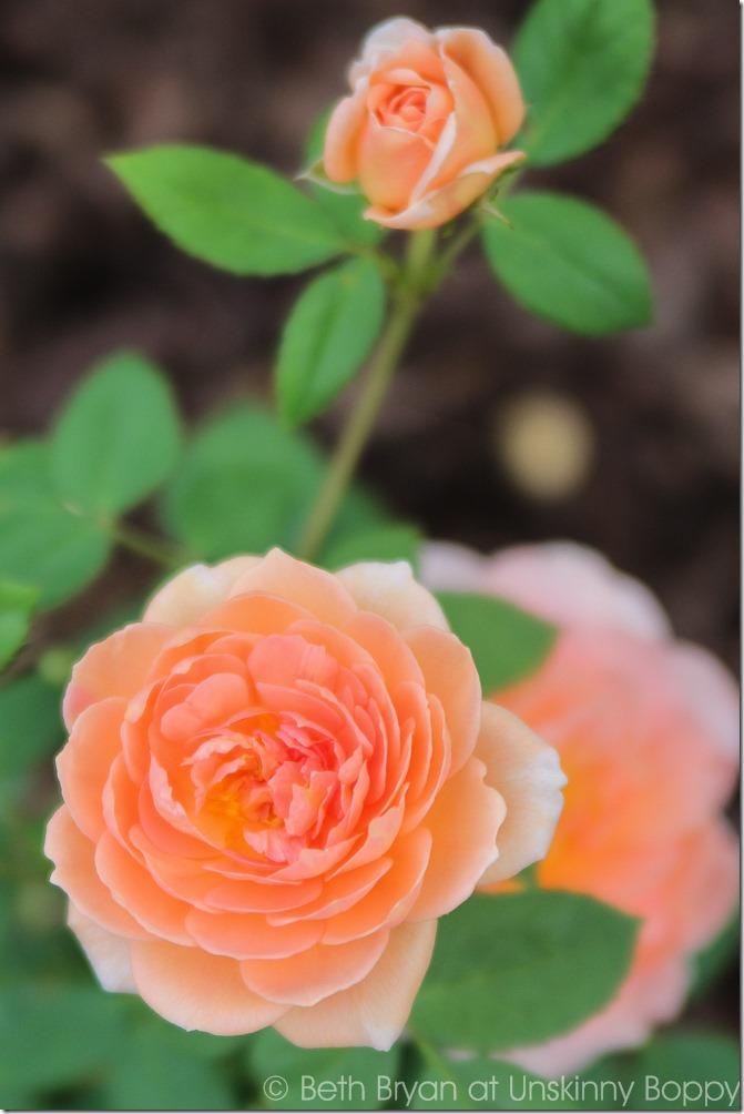 David Austin Roses-11