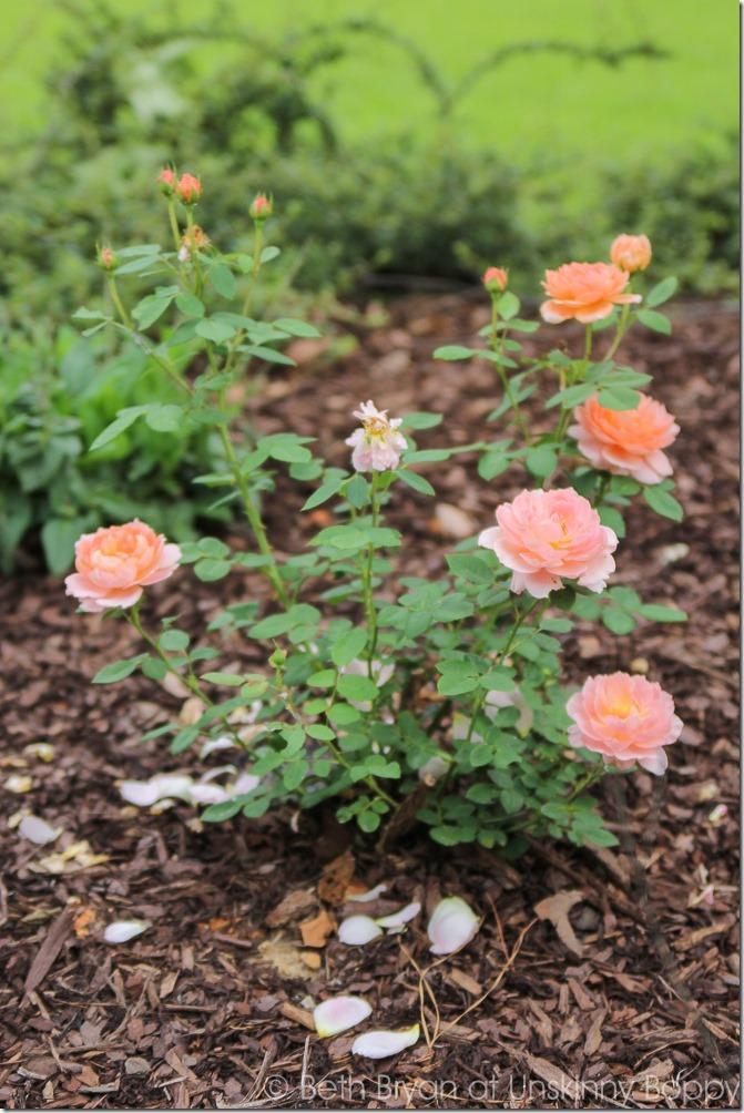 David Austin Roses-12