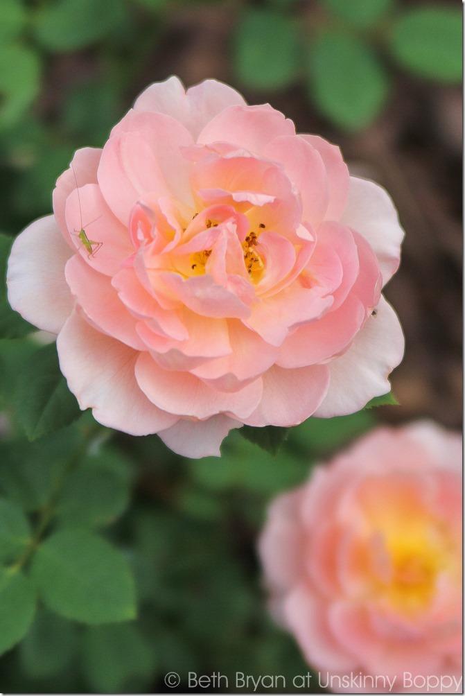 David Austin Roses-13