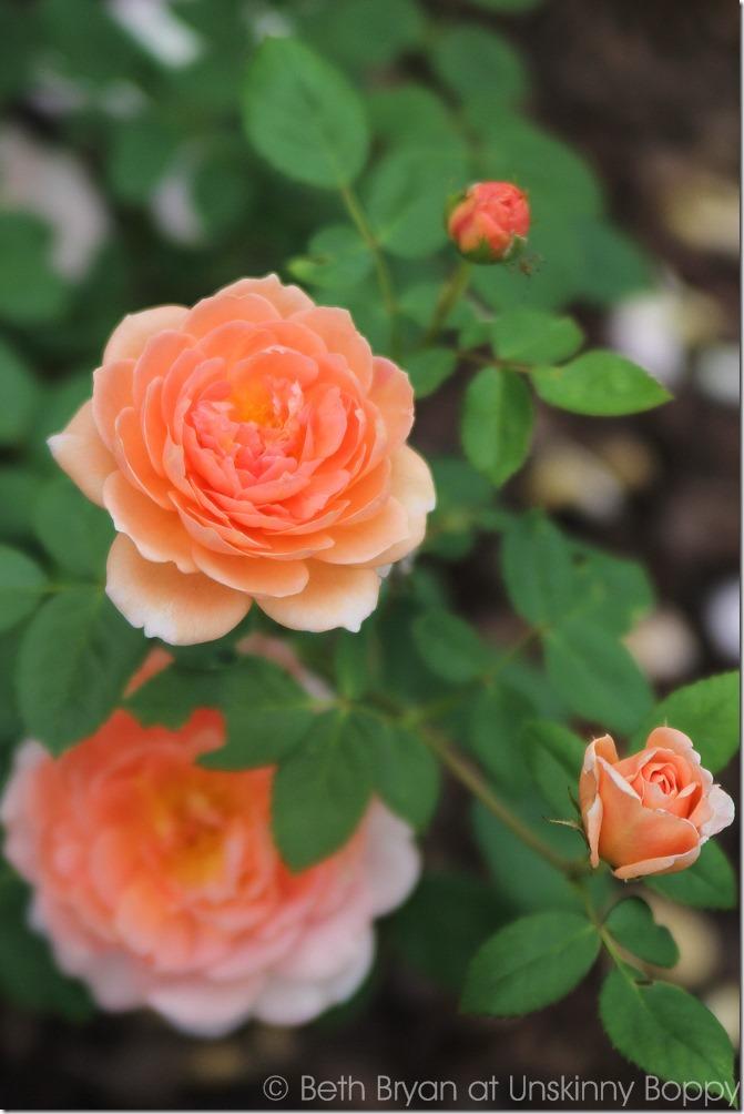 David Austin Roses-14