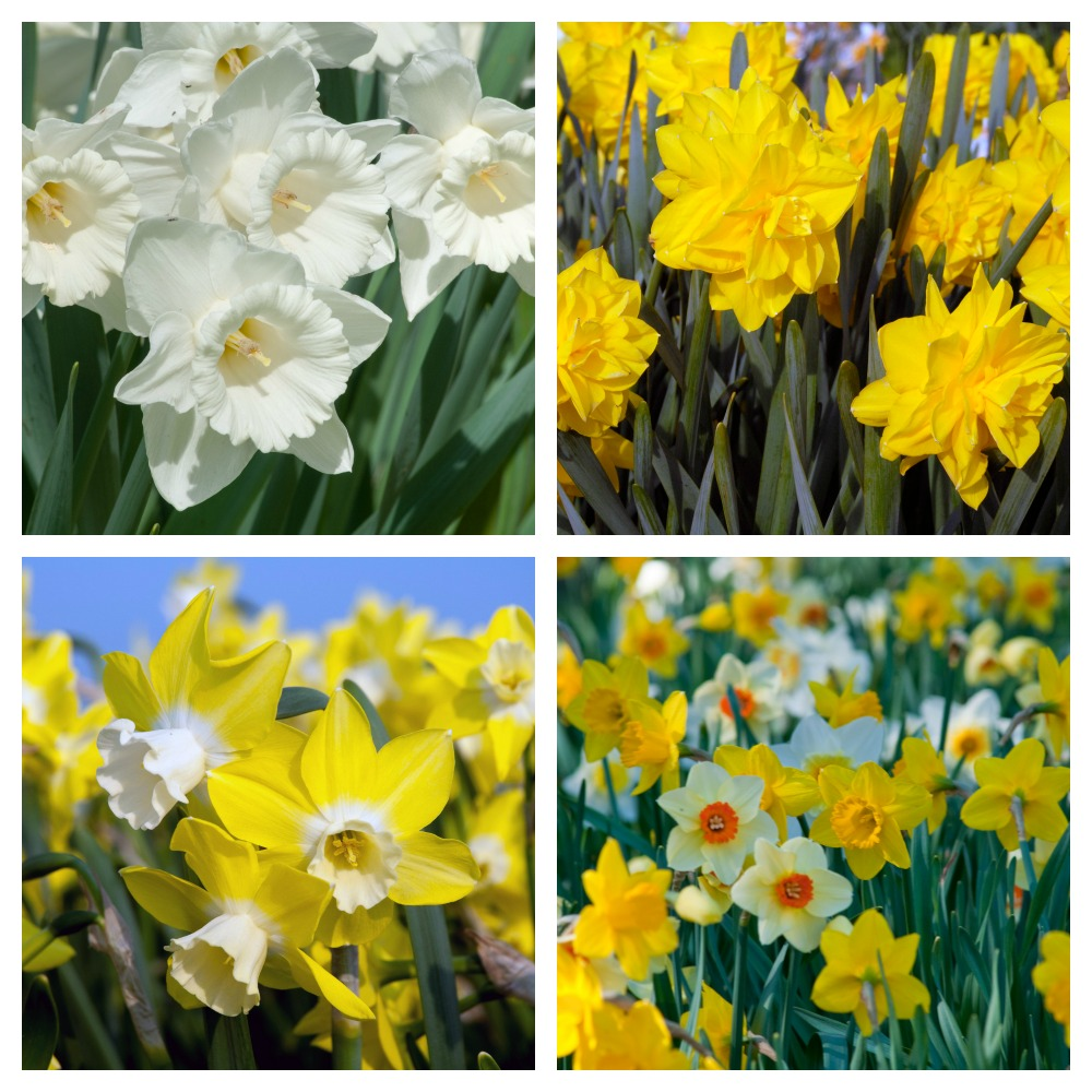 Colorblend Daffodil bulb review