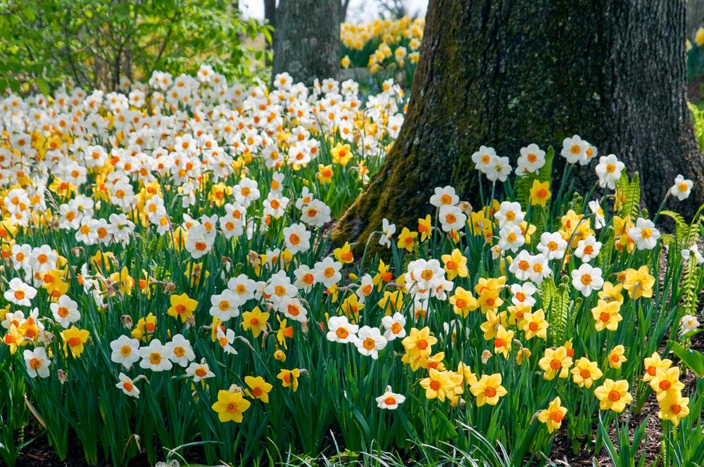 Daffodil Blend Sunshine Boys - Colorblends.com