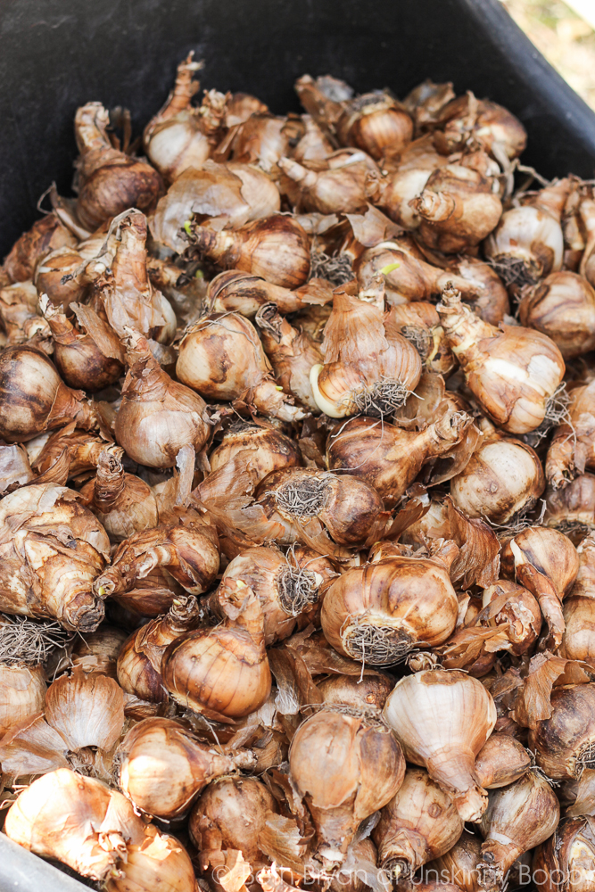 how to plant Colorblend Daffodil bulbs-2