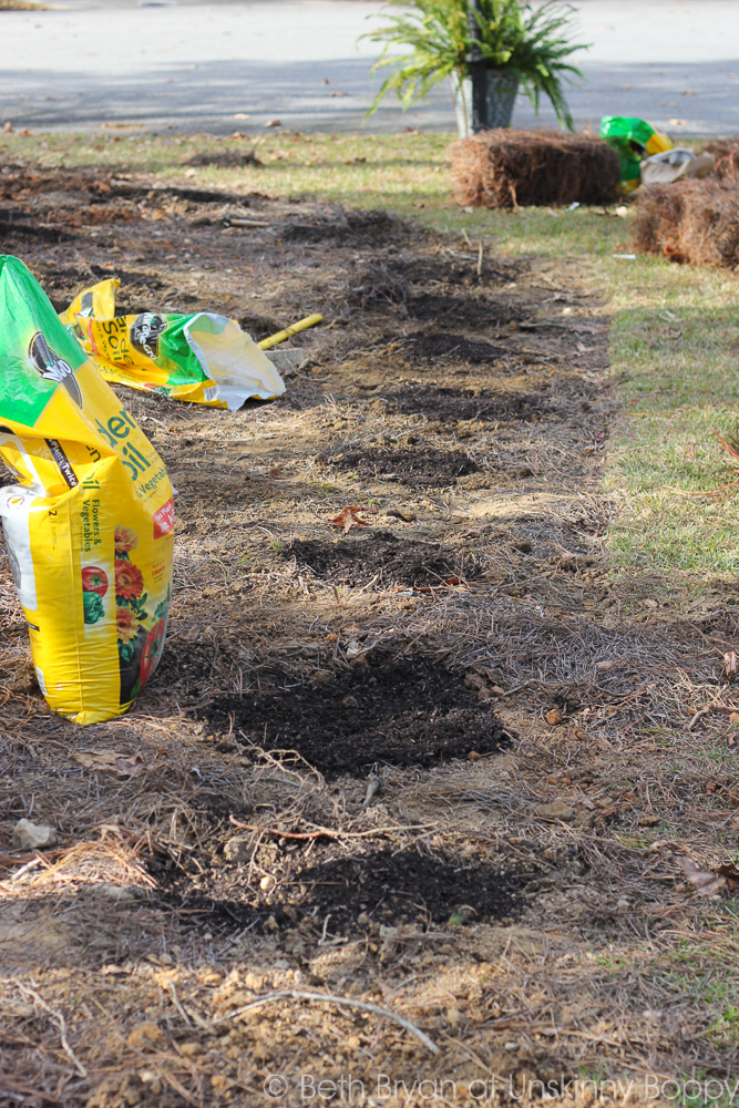 how to plant Colorblend Daffodil bulbs-5
