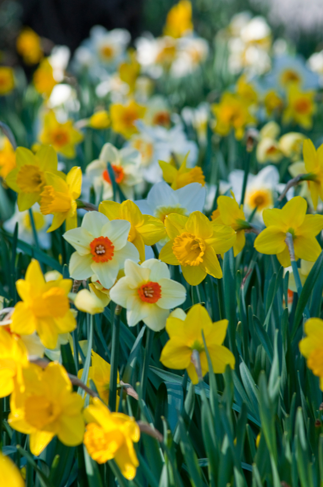 Daffodil Blend Spring Loaded - Colorblends.com