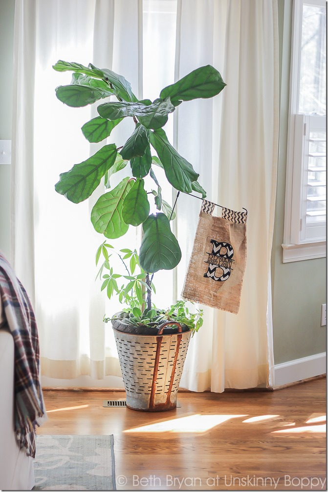 Fiddle leaf fig in an olive bucket