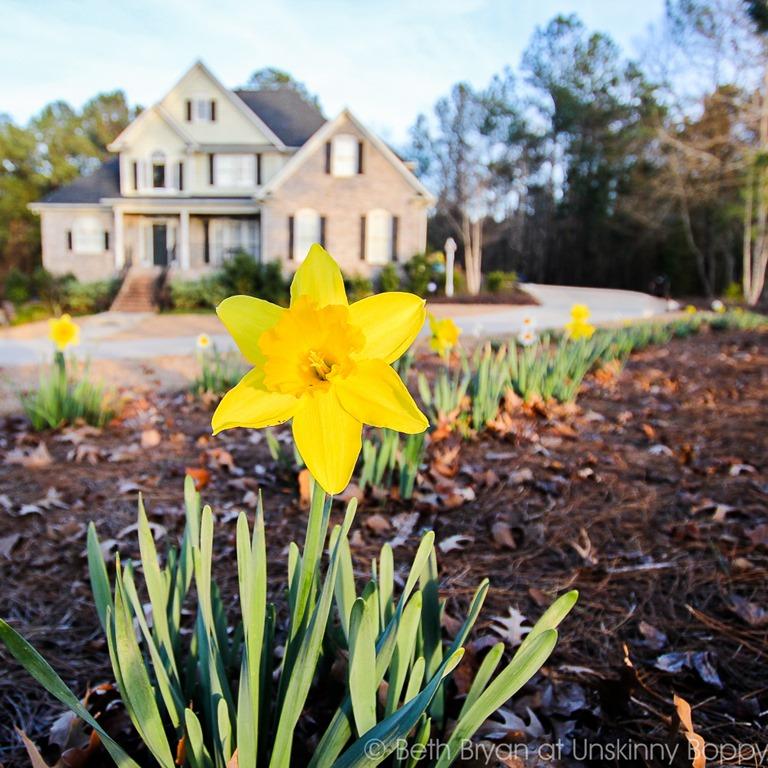 Daffodil-in-the-spring.jpg