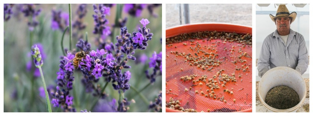 lavender-and-tansy-at-young-living-farm