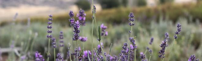 Rocky Mountain High {Young Living Lavender Farm Tour}