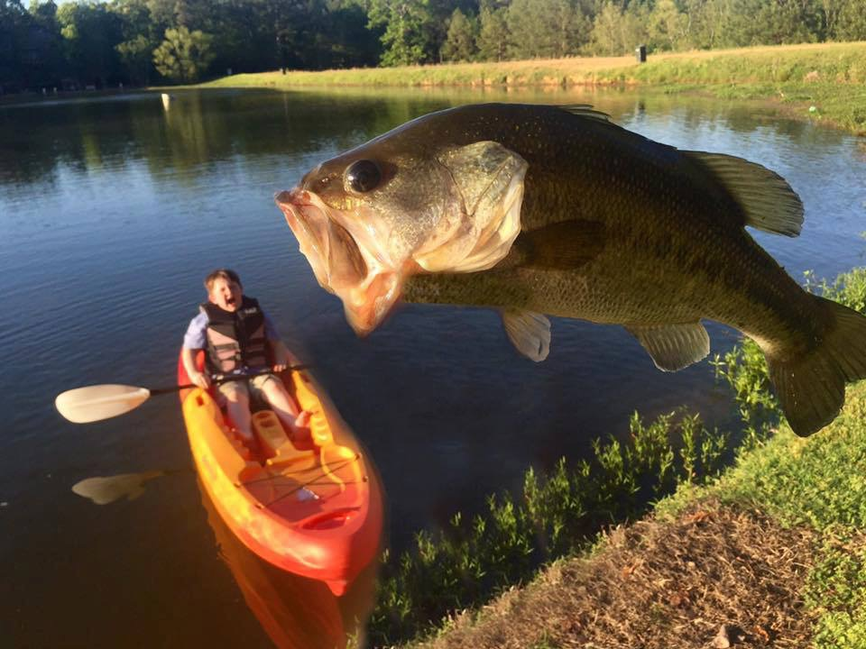 giant bass eating kayaker