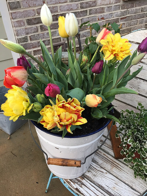 tulips in a white bucket