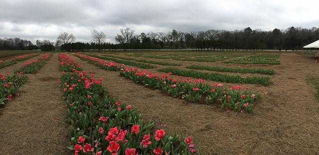 Festival of Tulips at American Village Montevallo, Alabama