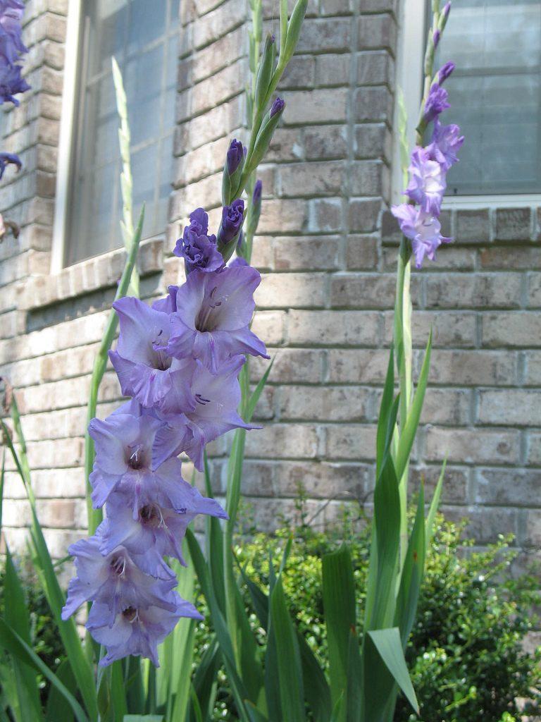 Purple Gladiola for a cutting garden