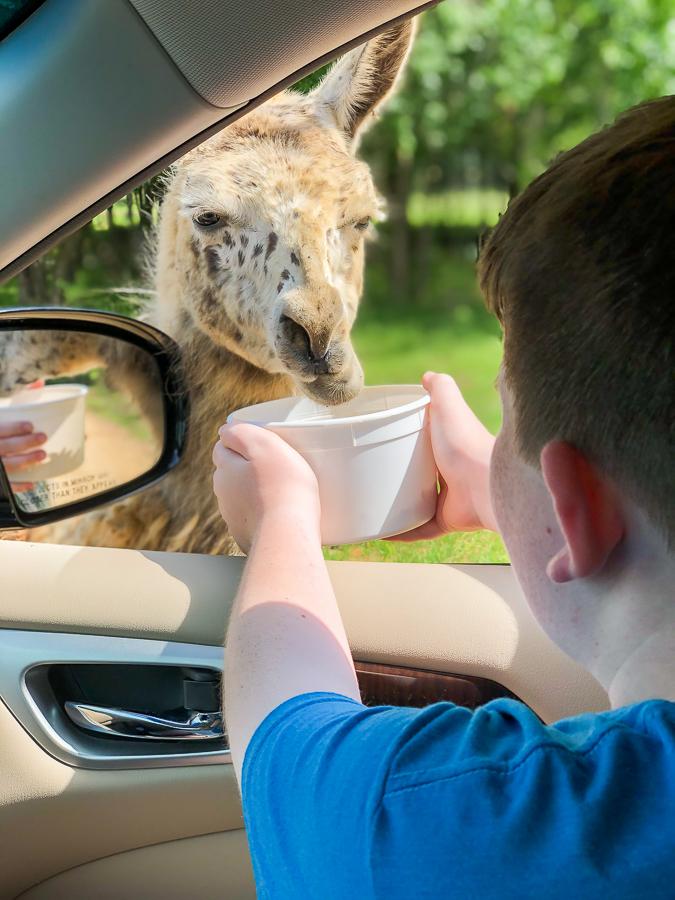 Alabama Safari Park feeding the llamas