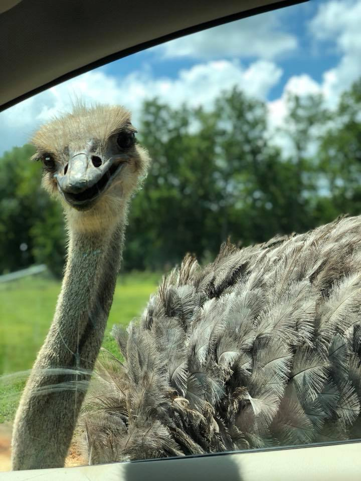 angry ostrich pecking window
