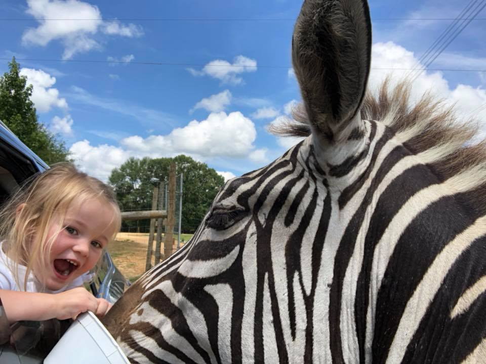 feeding zebra from car